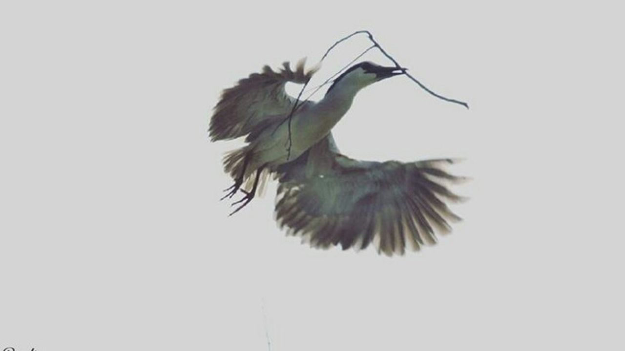bird, one animal, flying, animal wildlife, spread wings, animal themes, animals in the wild, motion, no people, nature, outdoors, day, sky