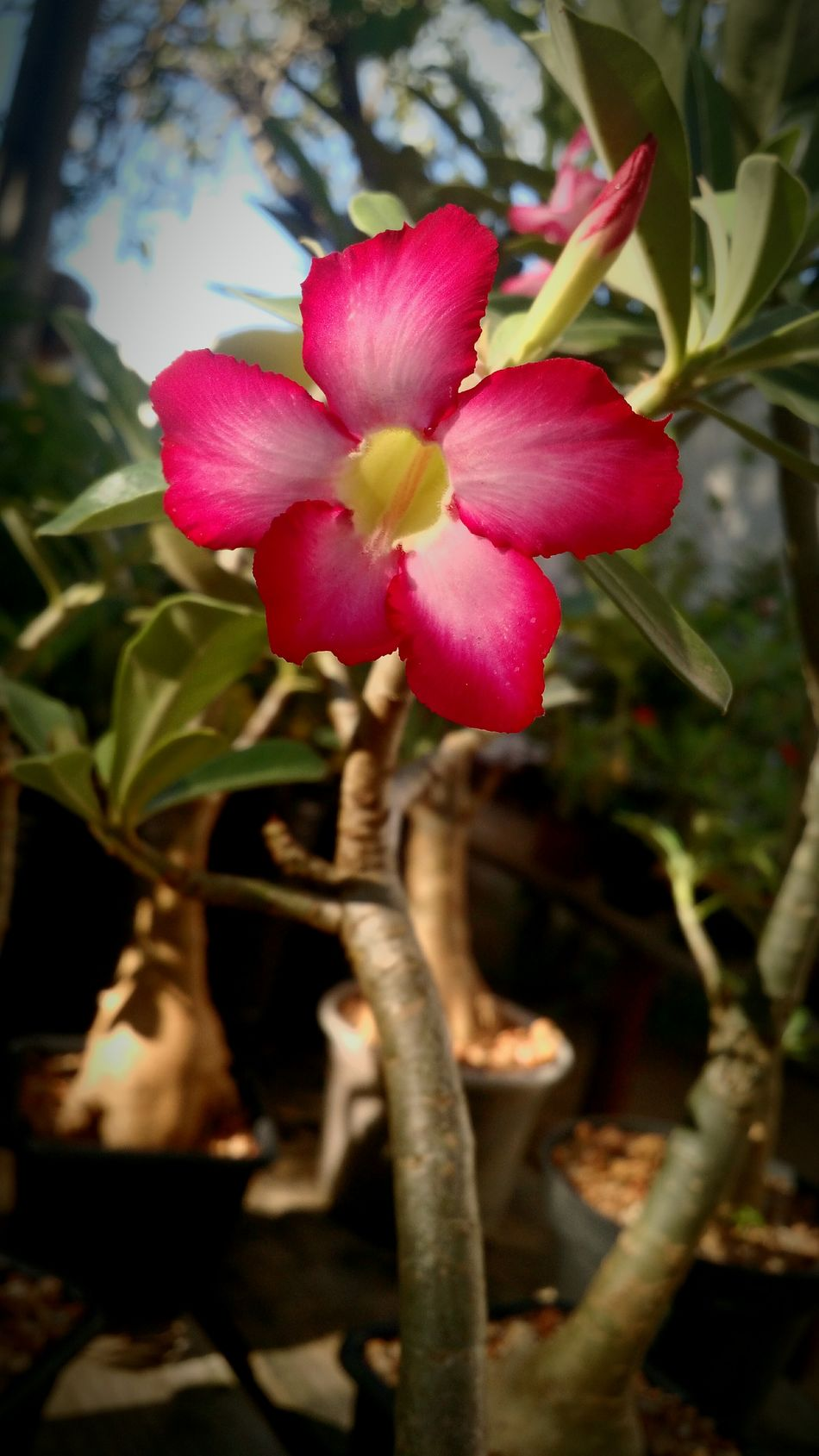 Desertflower Desertrose EyeEm Nature Beautiful Green Light And Shadow Photography Recife EyeEm Team Brazil Olinda EyeEm Best Shots EyeemTeam MotoX2 Flowerofdesert Roseofdesert Sun Sundown