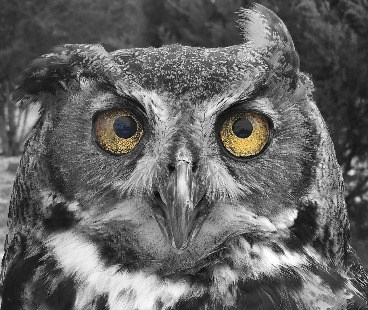 Black and white owl with yellow eyes Animal Eye Animal Themes Animal Wildlife Animals In The Wild Beak Beauty In Nature Bird Bird Of Prey Black Background Blackandwhite Close-up Focus On Foreground Looking At Camera One Animal Owl Portrait Yellow Eyes
