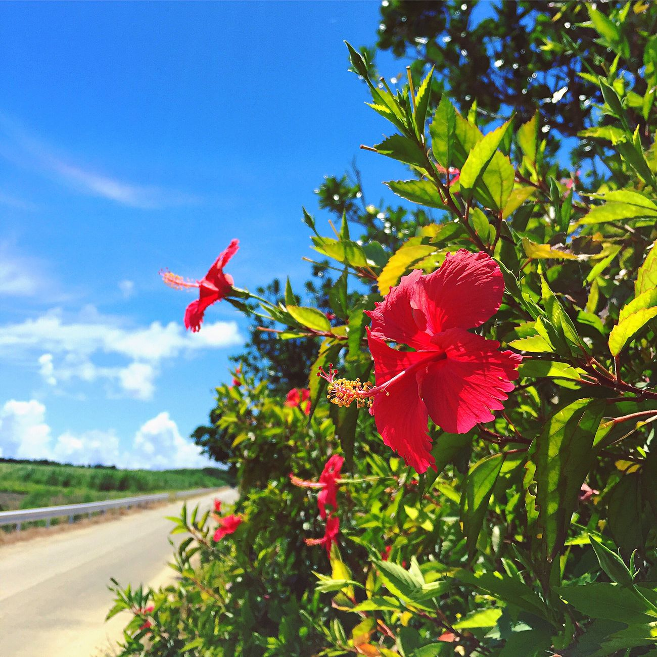 ハイビスカス Hibiscus Hibiscus 🌺 HibiscusFlowers Hibiscus Flower Hibiscus Red RedFlower Redflowers Tropical Tropical Plants Tropical Flowers Yaeyama Okinawa Haterumajima Green Leaves Blue Sky Sky