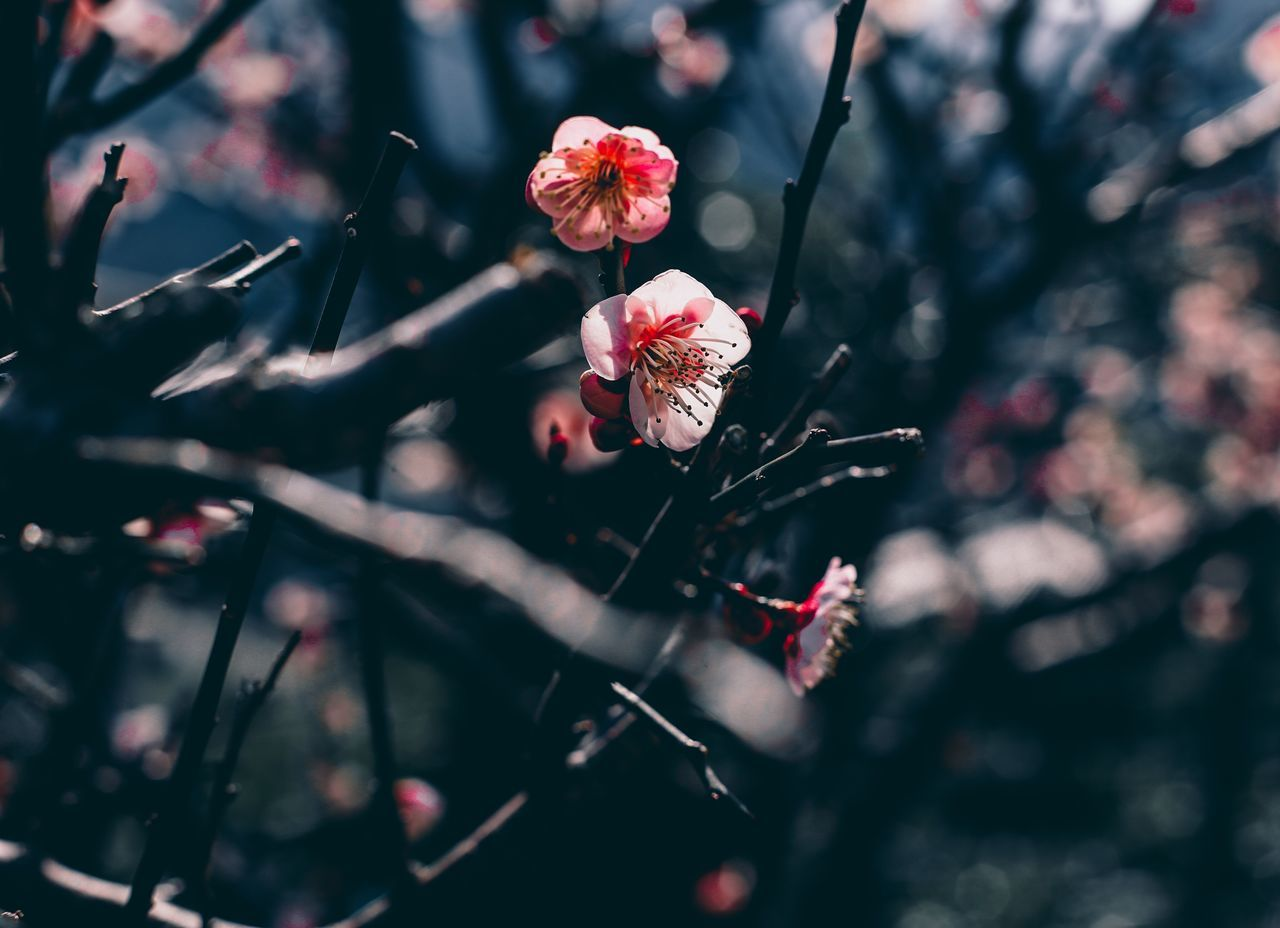 // Vernal Equinox Day - 春分 の日 // Flower Nature Growth Fragility Beauty In Nature Petal Freshness Close-up Flower Head Blossom Outdoors Pink Color Plum Blossom Day Rhododendron Spring Springtime Shootermag Bokeh Street Photography AMPt_community