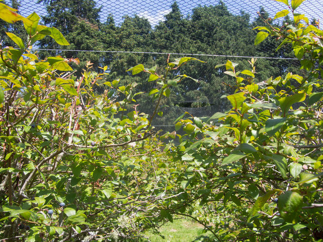 Netting over the top of blueberry bushes Blueberry Bushes Freshness Growth Netting No People Plant