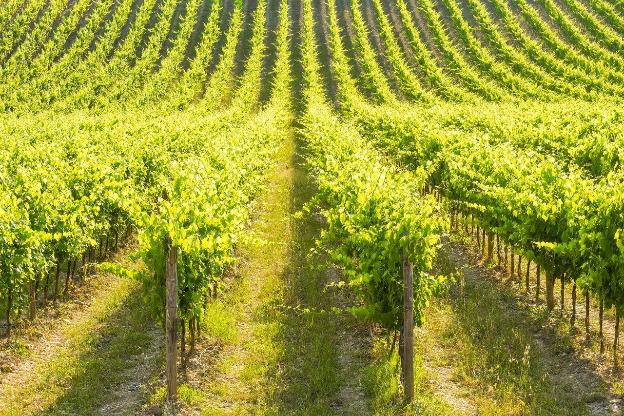 Vineyard At Chianti