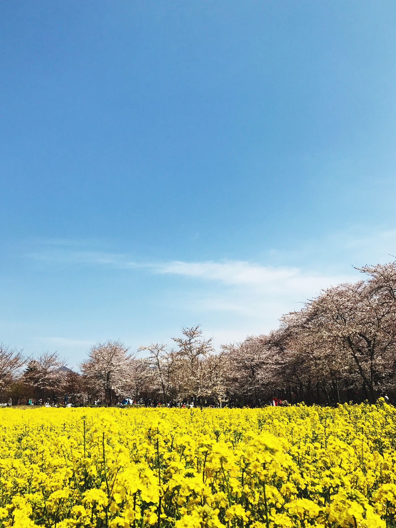 Cherry Blossoms OilSeedRape Spring Flowers IPhone IPhone7Plus Snapwithiphone