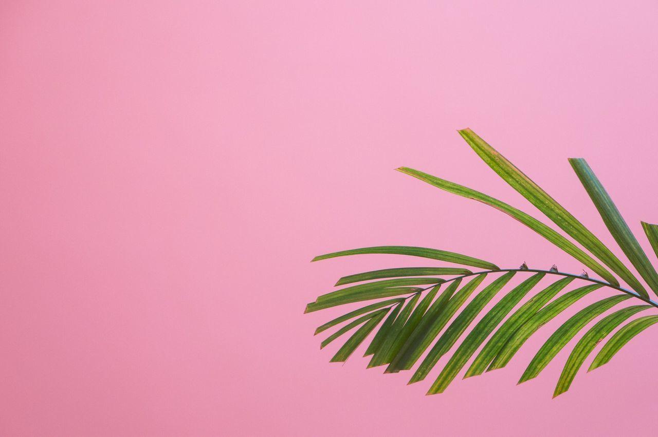 Palm Leaf Against Pink Background