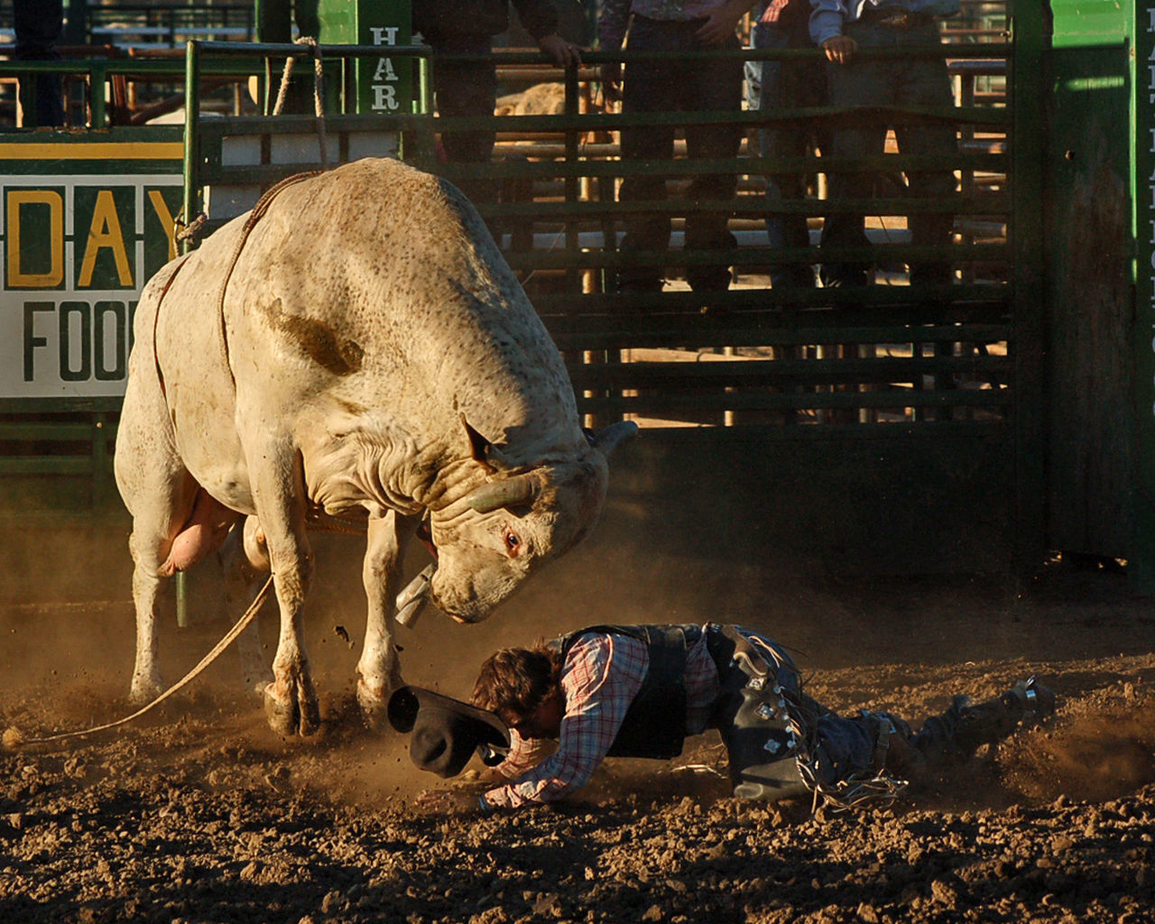 Say Your Prayers Cowboy Arena Bull Riding  Chute Cowboy Cowboy Hat Danger Day Dirt Domestic Animals FaceDown Full Length Horns Low Section Mammal Men Nature One Person Outdoors People Real People Rodeo Sitting Stomp Thrown Vest