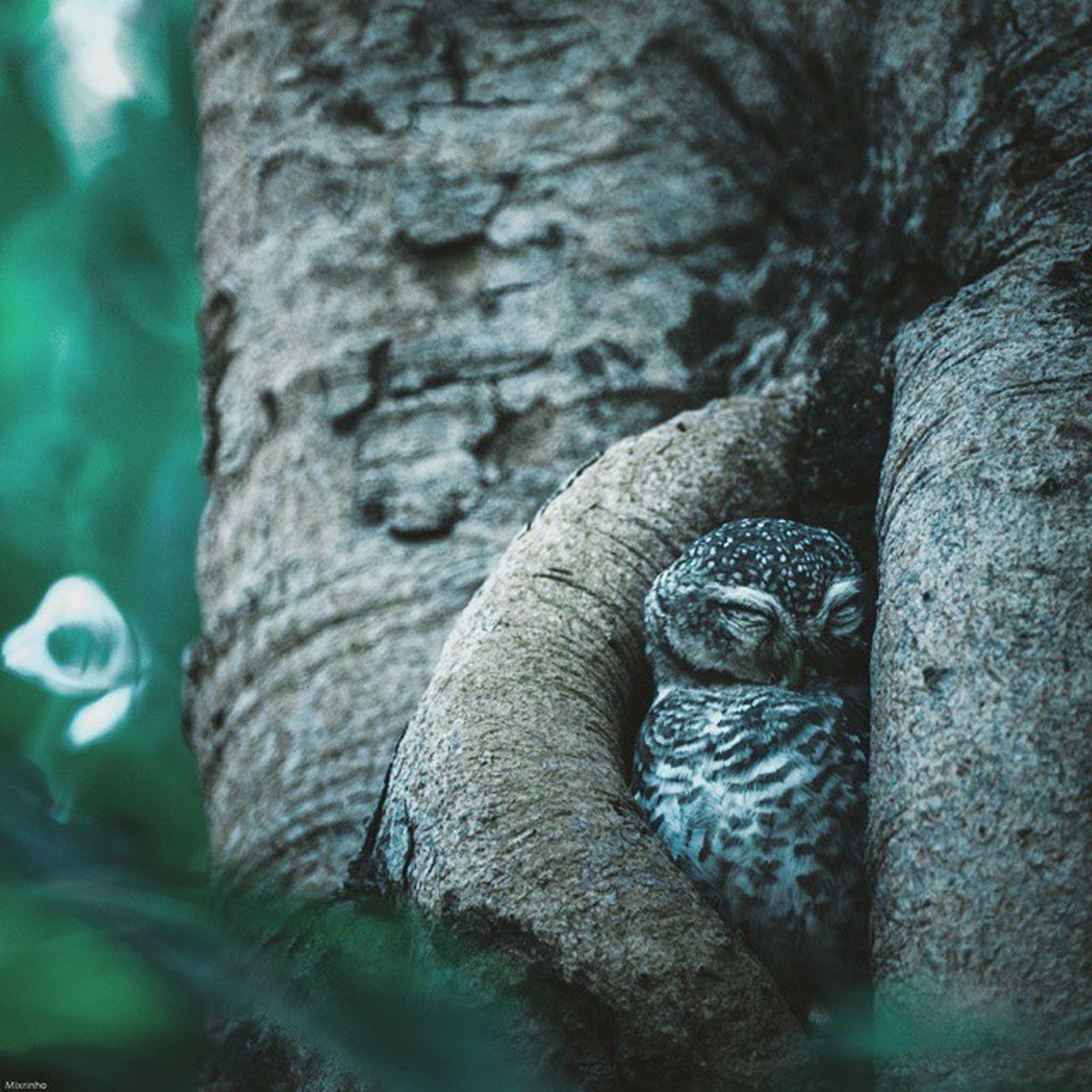 Take some rest Vscocam Owl Bird Thailand Rest Amzthld Igersth Wildlifephotography Wild Wildlife Nikonnofilter Nikon 500mm Photooftheday Instagood Cute World_bestshot Wow_animal Wildlifeplate Wildlife_perfection
