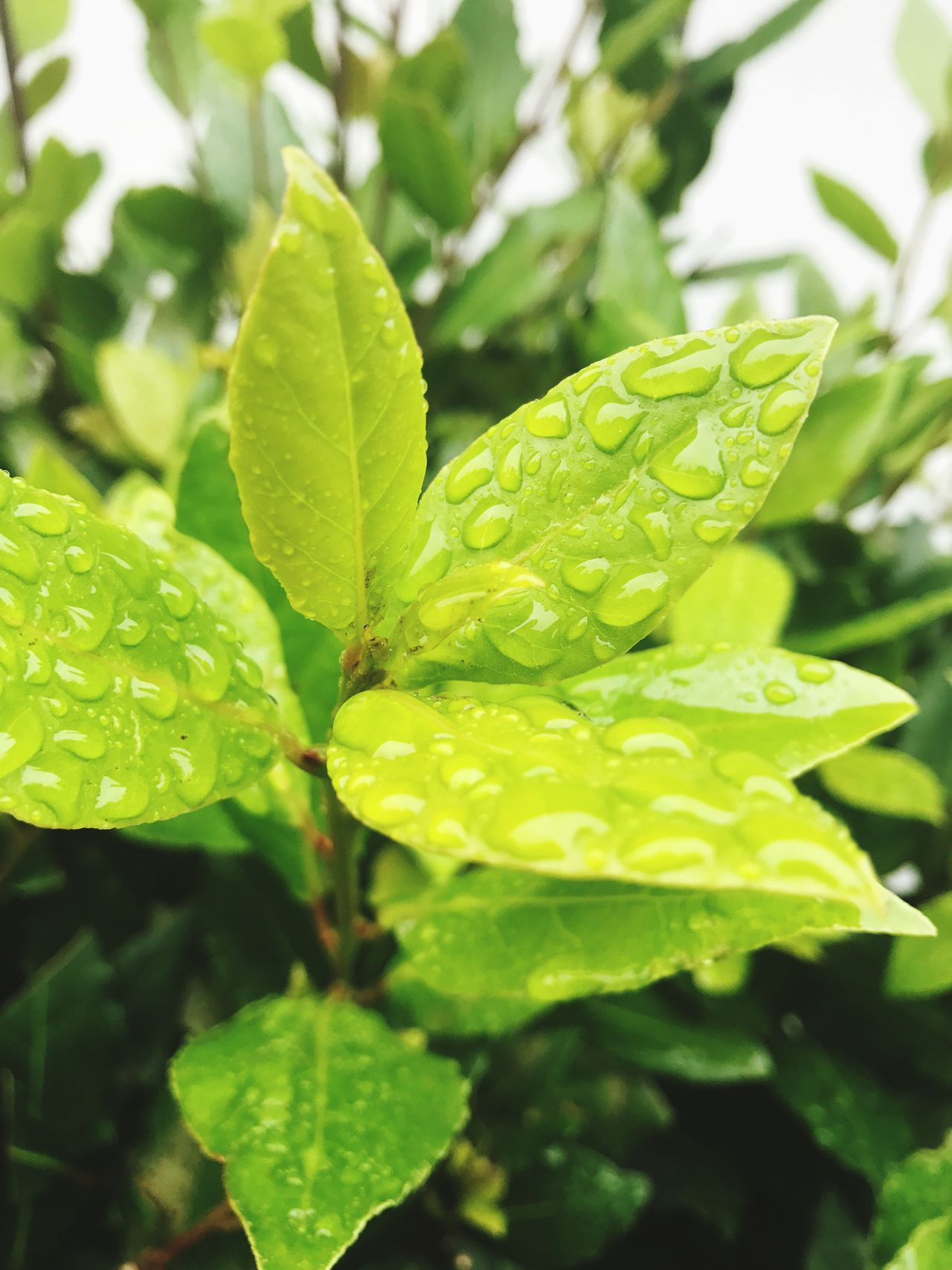 Leaf Drop Nature Wet Green Color Growth Water Plant Close-up Rain Dew RainDrop No People Freshness Green Pure Nature Outdoors Nature Photography Naturelovers Nature On Your Doorstep Nature_collection Beauty In Nature Day Fragility