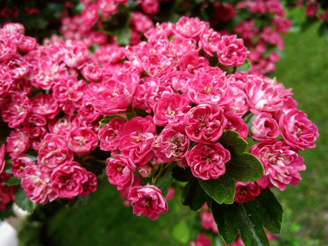 Beauty In Nature Blooming Day Flower Flower Head Freshness Garden Hawthorn Nature Outdoors Pink Pink Color Plant Spring