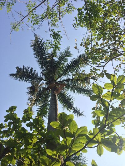 Beauty In Nature Branch Clear Sky Day Freshness Green Color Growth Leaf Low Angle View Nature No People Outdoors Plant Sky Tree