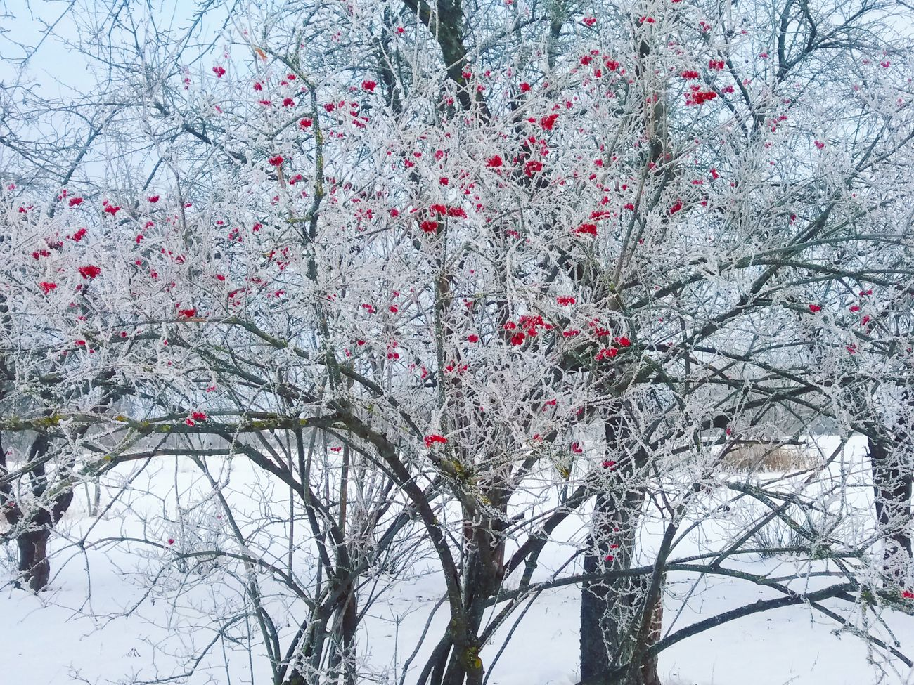 Trees White No People Beauty In Nature Freezingweather Winter Winter Trees Red Landscape Phonephotography📱