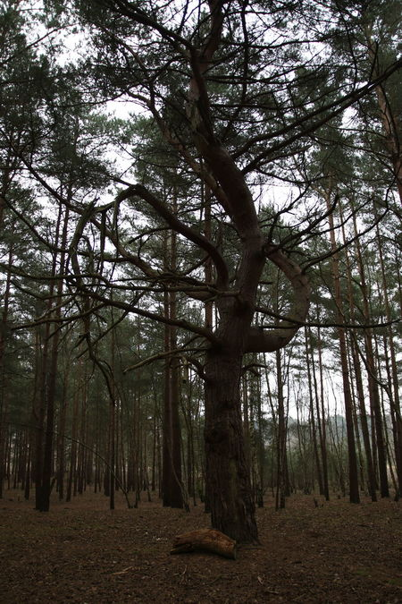 Beauty In Nature Branch Day Dense Forest Forest Growth Landscape Nature No People Outdoors Scenics Surrey Countryside Surrey Heath Tranquility Tree Unusual Shape.