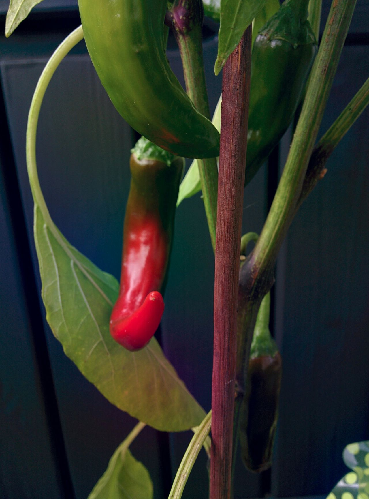 Growing RedChiliPeper