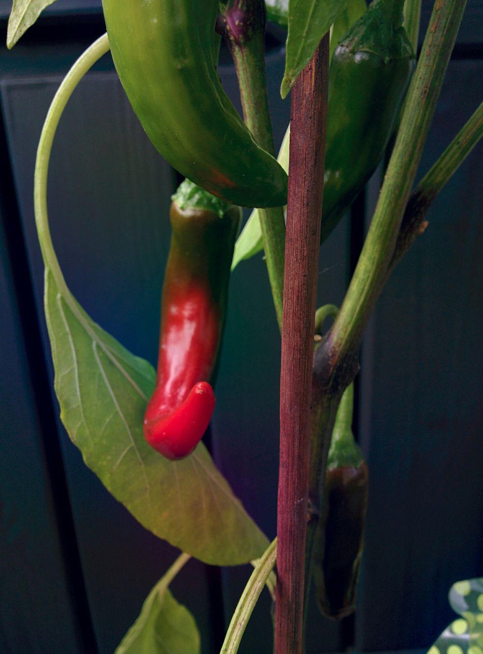 Growing RedChiliPeper