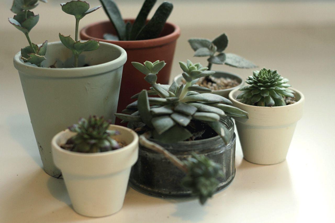 Succulent Urbangardening Indoorplant Haworthia Sempervivum Sedum Kalanchoe Kalanchoebeharensis Heidelberg Botanical