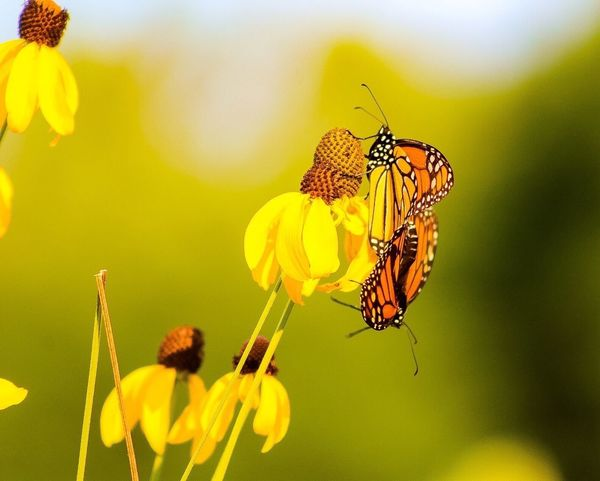Photography By Brooke Chanelle Insect Flower Animal Themes Yellow Animals In The Wild Nature Focus On Foreground Beauty In Nature Fragility One Animal Animal Wildlife Butterfly - Insect No People Freshness Close-up Petal Outdoors Plant Day Flower Head Butterfly Beauty In Nature Nature Mating Pair Of Insects