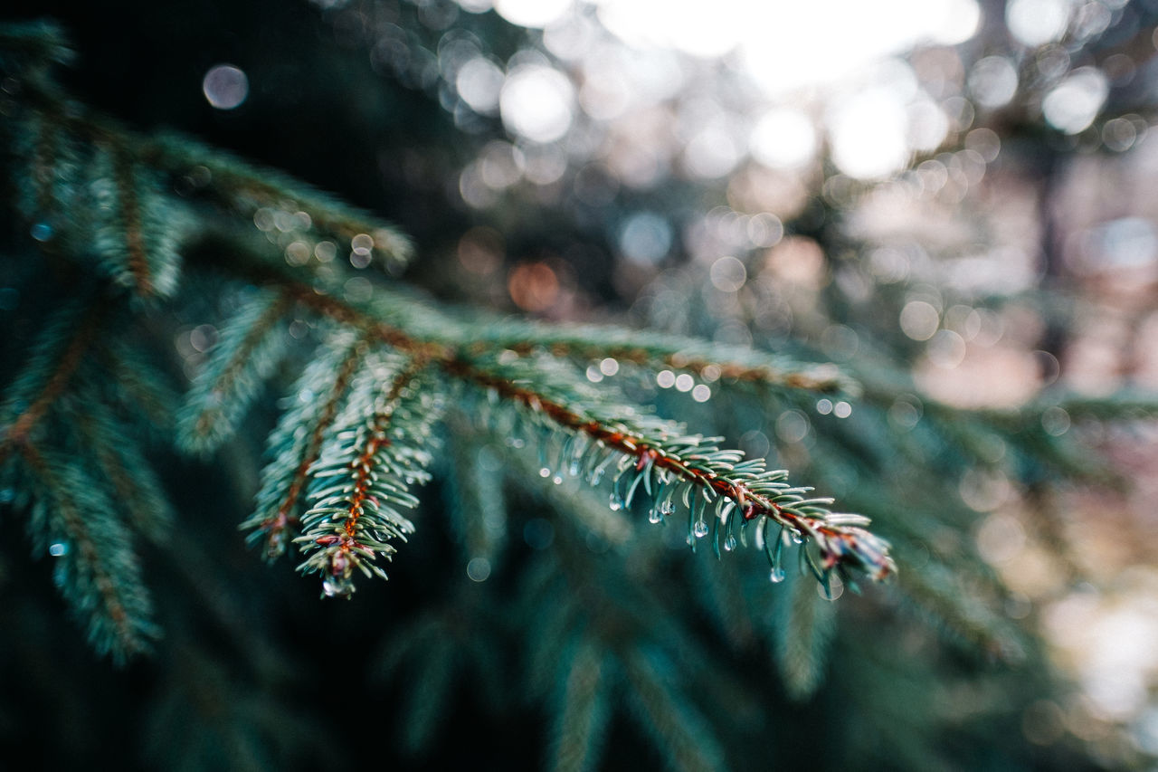 Animal Themes Animals In The Wild Beauty In Nature Close-up Day Fir Fir Tree Green Color Macro Macro Nature Macro Photography Nature No People Outdoors Rain Drops Rain Drops On Leaves Spider Spider Web Water Web