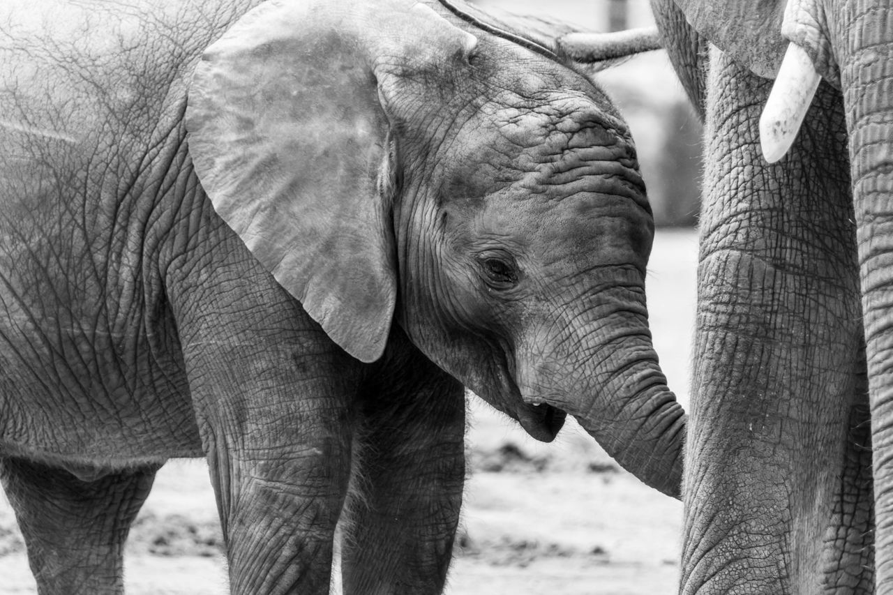 Baby elephant drinking at mother elephant Adult African Elephant Animal Themes Animal Trunk Animals In The Wild Baby Close-up Day Drinking Elephant Feeding  Feeding Animals Mammal Mammals Nature No People Outdoors Parent Safari Safari Animals Tusk Young EyeEmNewHere
