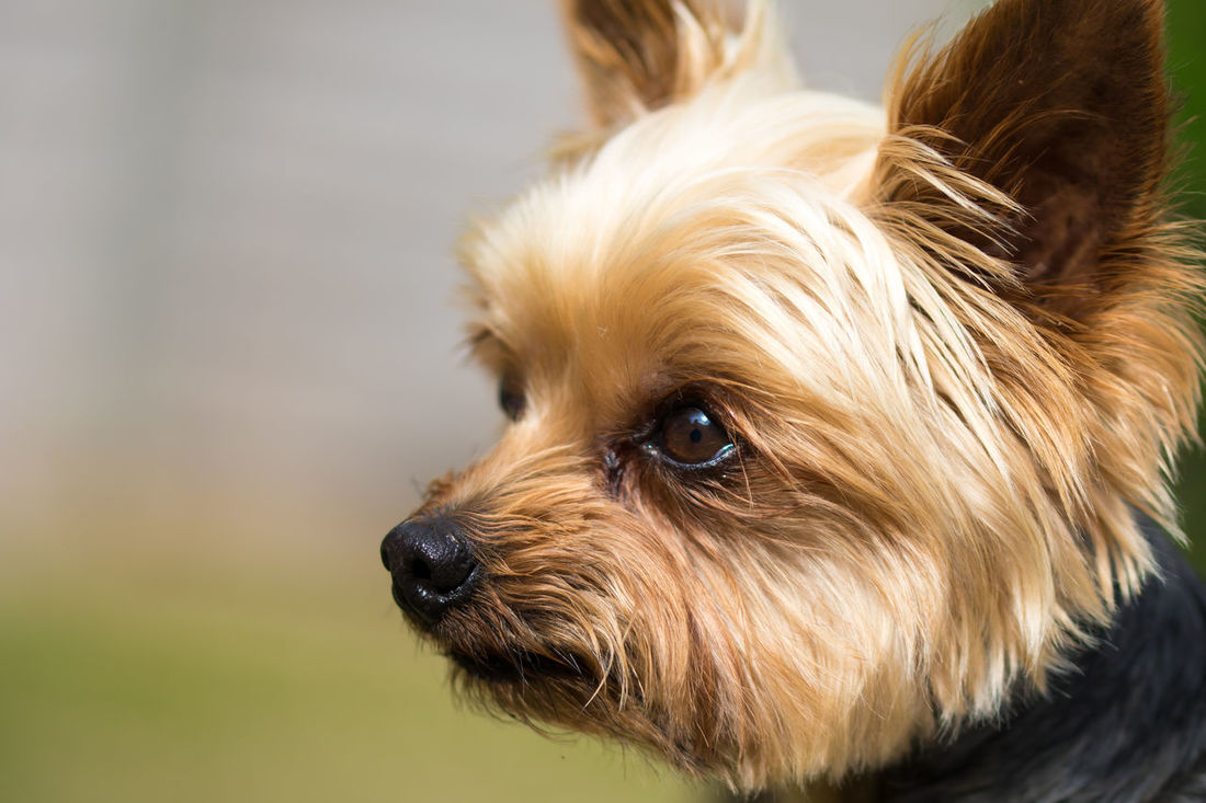The Unconditional Look Dog Face Dog Look Dog Portrait Domestic Animals One Animal Pets Portrait The Look Yorkshire Terrier Pu EyeEmNewHere