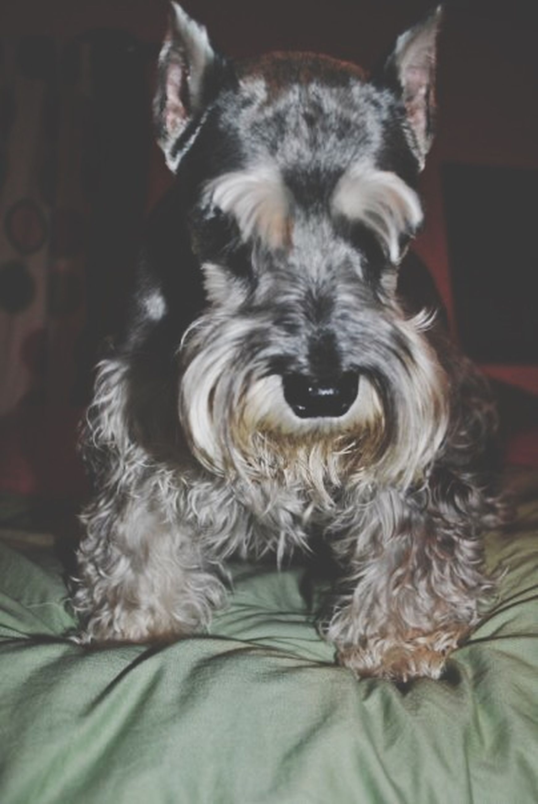pets, domestic animals, animal themes, one animal, mammal, dog, indoors, relaxation, home interior, close-up, animal hair, resting, lying down, bed, portrait, looking at camera, animal head, sofa, home, no people