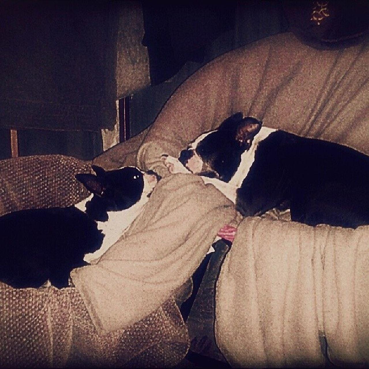 Instapuppy Terriors Animals Sleepy Instagramaz Phoenixaz Pepper &ella Cute Adorable Sisters Naptime Instagram Instadog Instalove Instagramhub Iganimals Igersphx Igpuppy Instanaps Puppydreamz Goofballs :)