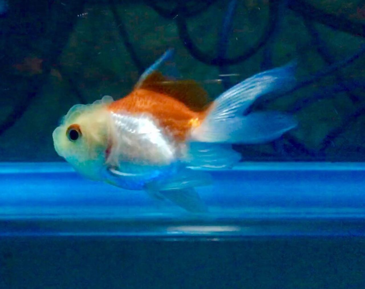 one animal, swimming, underwater, animal themes, fish, water, no people, goldfish, indoors, sea life, close-up, animals in the wild, aquarium, nature, day, undersea