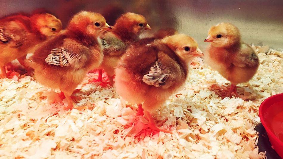 Chicks🐣🐤 Bird Chicken - Bird No People Livestock Day Animal Themes Large Group Of Animals Togetherness Close-up Domestic Animals Animals Chicks Chickens >.< Baby Animals Easter Yellow Domestic Beaks