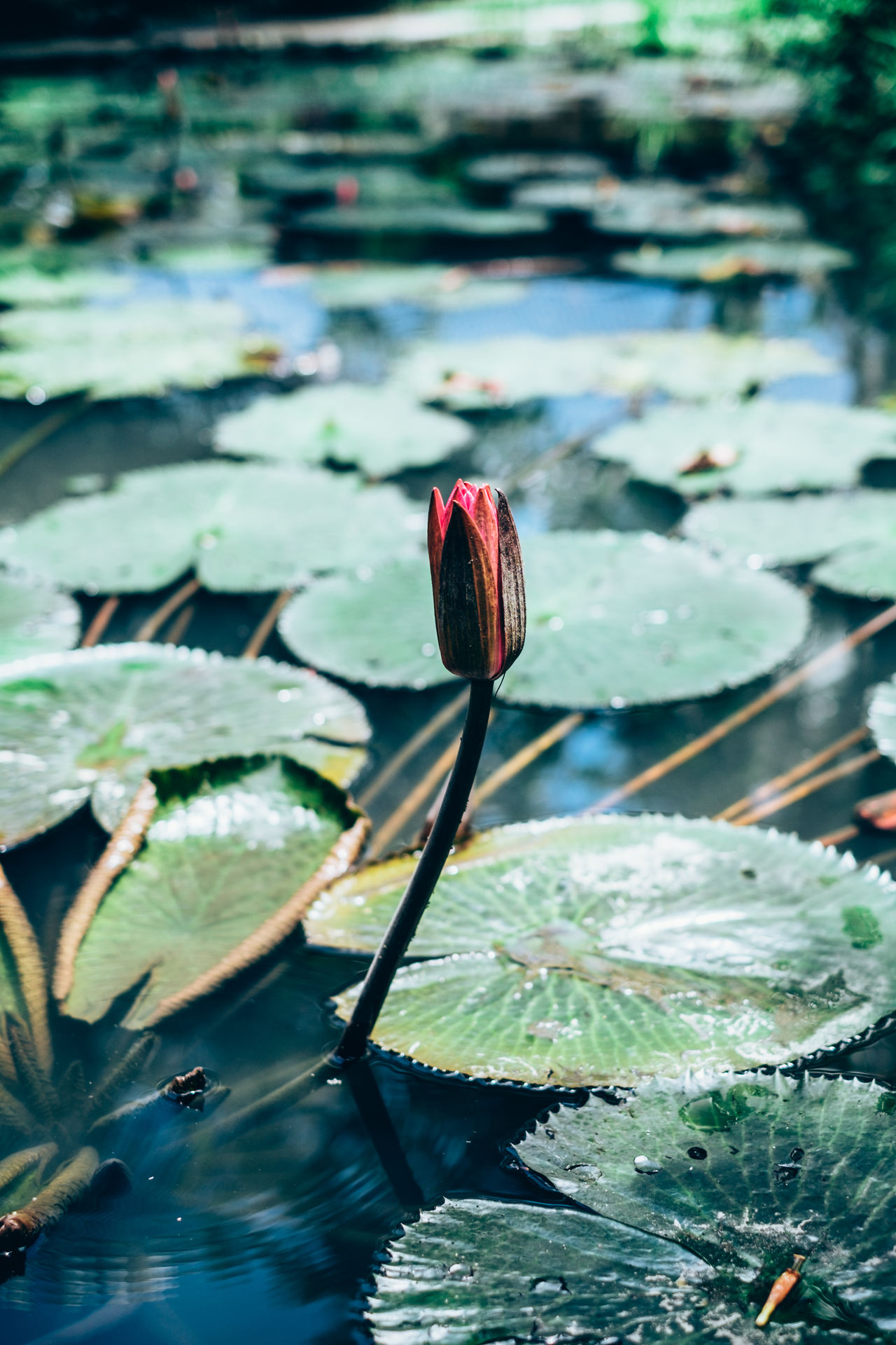 Beauty In Nature Close-up Copy Space Day Floating On Water Flower Flower Head Fragility Freshness Growth Lake Lakes  Leaf Lily Pad Lotus Lotus Water Lily Nature Outdoors Petal Plant Pond Selective Focus Water Water Lily Background
