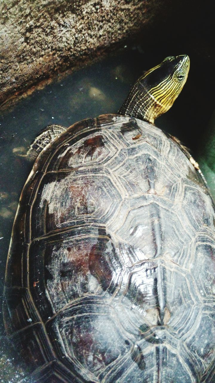 one animal, animal themes, close-up, no people, animals in the wild, sea life, day, tortoise, outdoors, tortoise shell