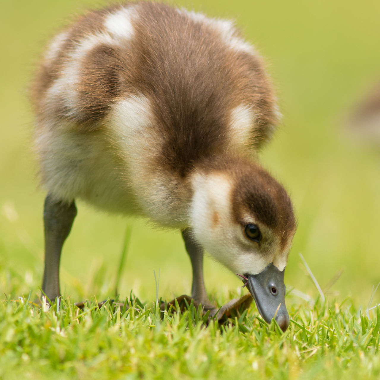 Young egyptian gosling feeding on the grass at Kirstenbosch Botanical gardens Animal Themes Animal Wildlife Animals In The Wild Beauty In Nature Close-up Day Egyptian Goose Gosling Grass Green Color Mammal Nature No People One Animal Outdoors Young Animal