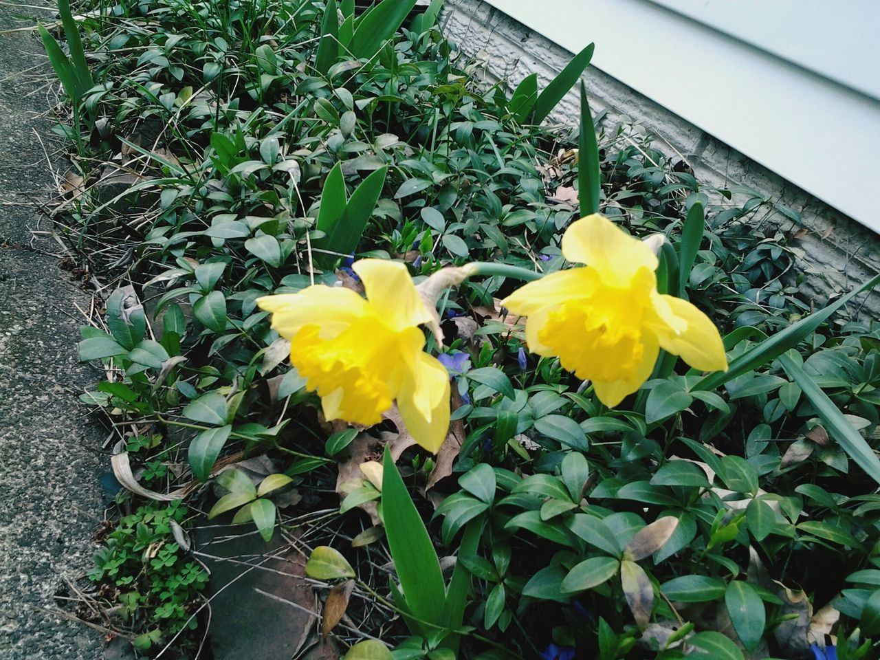 flower, yellow, growth, plant, petal, fragility, leaf, freshness, nature, beauty in nature, no people, flower head, daffodil, day, outdoors, green color, blooming, close-up