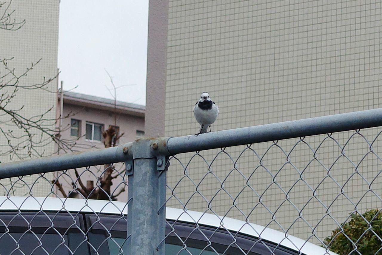 追いかけるの大変でした。Bird One Animal City Outdoors No People Animal Themes Taking Photos Beauty In Nature セキレイ セグロセキレイ Photography 野鳥 Day Animal Wildlife Nature Animals In The Wild 可愛い