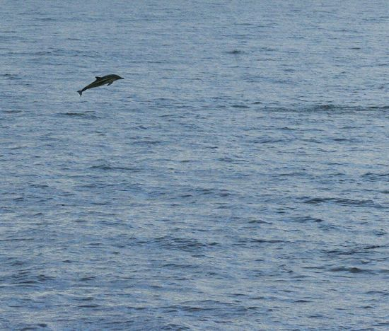 my ocean One Animal Flying Sea Tranquility Beauty In Nature Non-urban Scene Wildlife Photography Animals In The Wild Wildlife & Nature Remote Seascape Water Ocean Dolphin