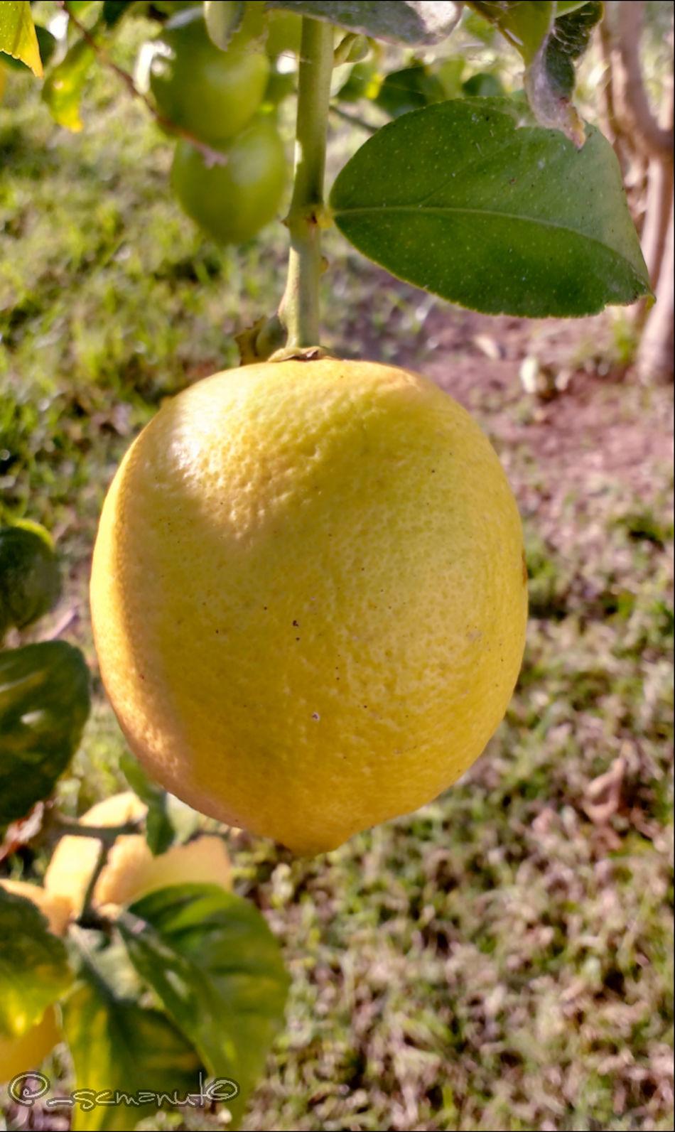Lemon tree very pretty... Peterpaulandmary Lemontree Nature Photography EyeEm Nature Lover Gardening Garden Photography