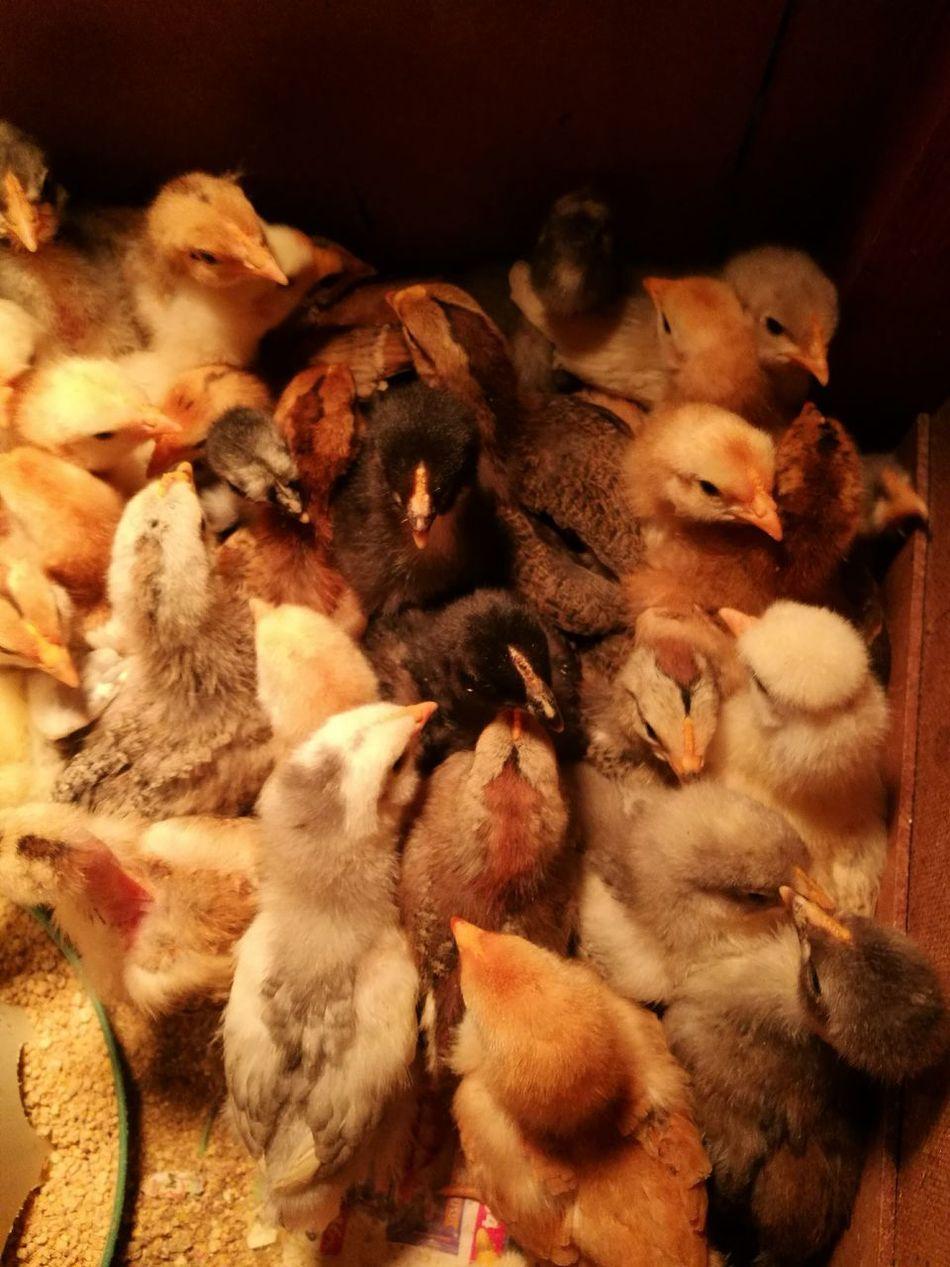 Close-up Animal Themes Chicken - Bird
