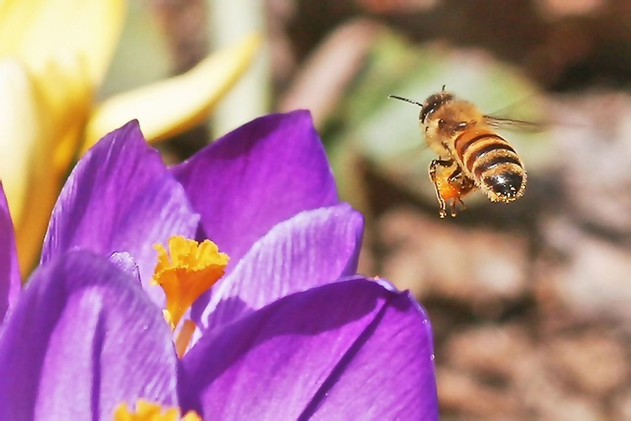 Honeybee. HoneyBee Pollen Bee In Flight Worker Bees Crocus Flower Macro Beauty The Great Outdoors - 2016 EyeEm Awards The OO Mission Macro Insects Honey Bee