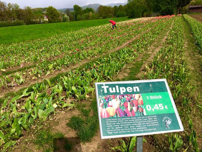 2016 April Freiburg Flowers Germany Tulips Field Spring