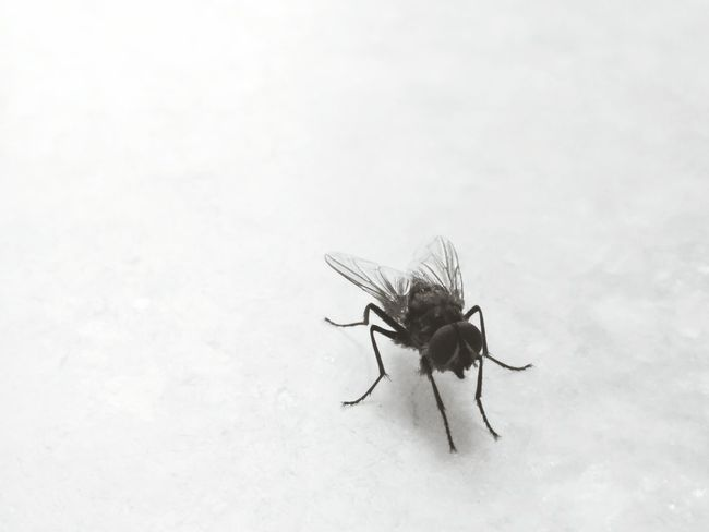 House fly OnePlusOne📱 Oneplusphotograpgy Showcase: November Learn & Shoot: Simplicity November2015 Light And Shadow Learn & Shoot: Single Light Source Shades Of Grey Insect Photography Macro Insects Black And White Friday