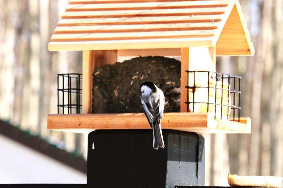 Birdwatching Wood - Material Birdhouse Outdoors Close-up Beak Day Bird Eating Alberta Canada