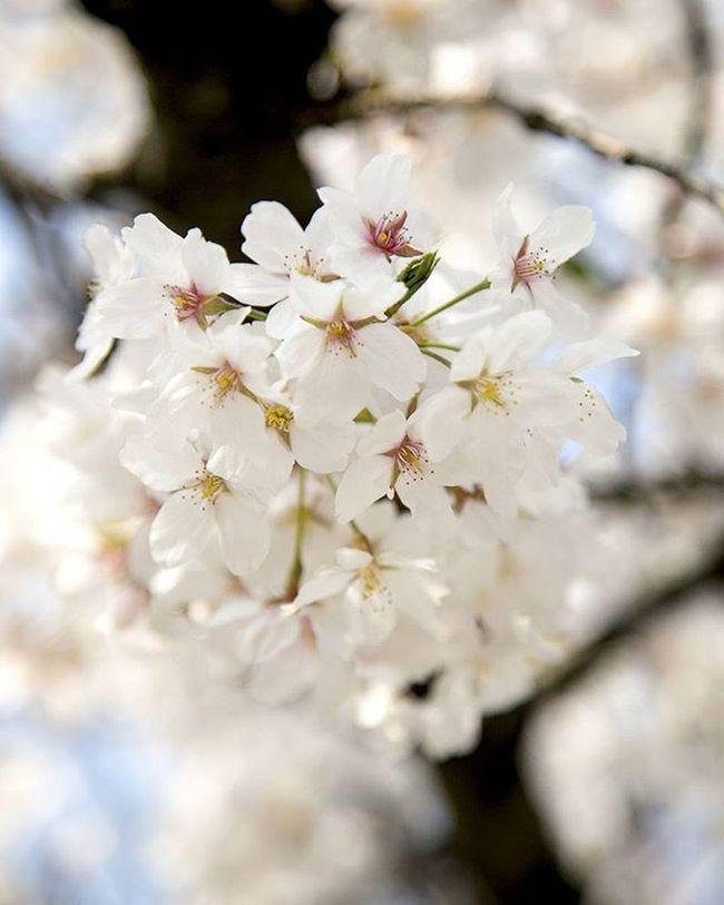 동네 꽃 너에게 주고싶은 꽃 사진스타그램 사진 꽃 6D 24105mm 봄 봄꽃 좋아요 봄내음 봄바람 봄봄봄 생각많음 벚꽃 나들이
