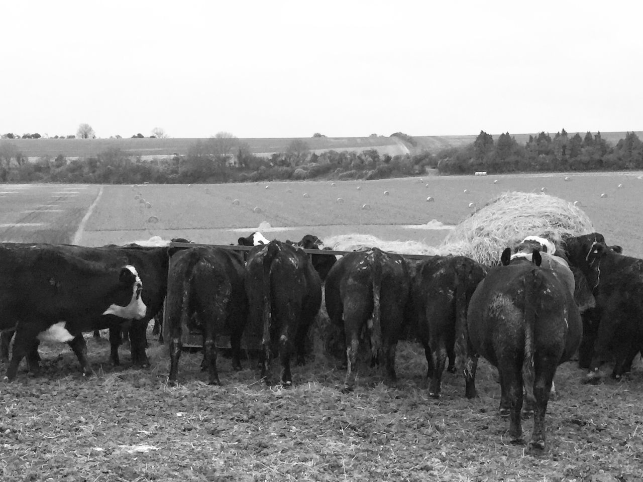 Bottoms Feeding Animals Feeding Time Livestock Domestic Animals Animal Themes Nature Mammal Large Group Of Animals Clear Sky Day Cattle Outdoors No People Grass Beauty In Nature Wiltshire Countryside Wiltshire Farmland Black And White Photography Bnw