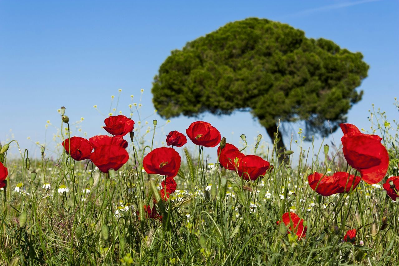 Spring Flowers Red Poppy Poppies  Nature Landscape Nature Lover Nature_collection Landscape_Collection Ruralphotography Country N Seaside