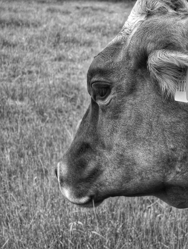 Cowportrait Cow Cowlover Animal Photography Animal Portrait Blackandwhite Photography Blackandwhite Animal_collection