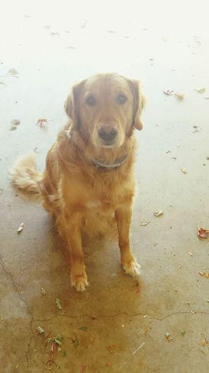 Bigpuppylove Fallwalks Goldenretriever Fall Dogs
