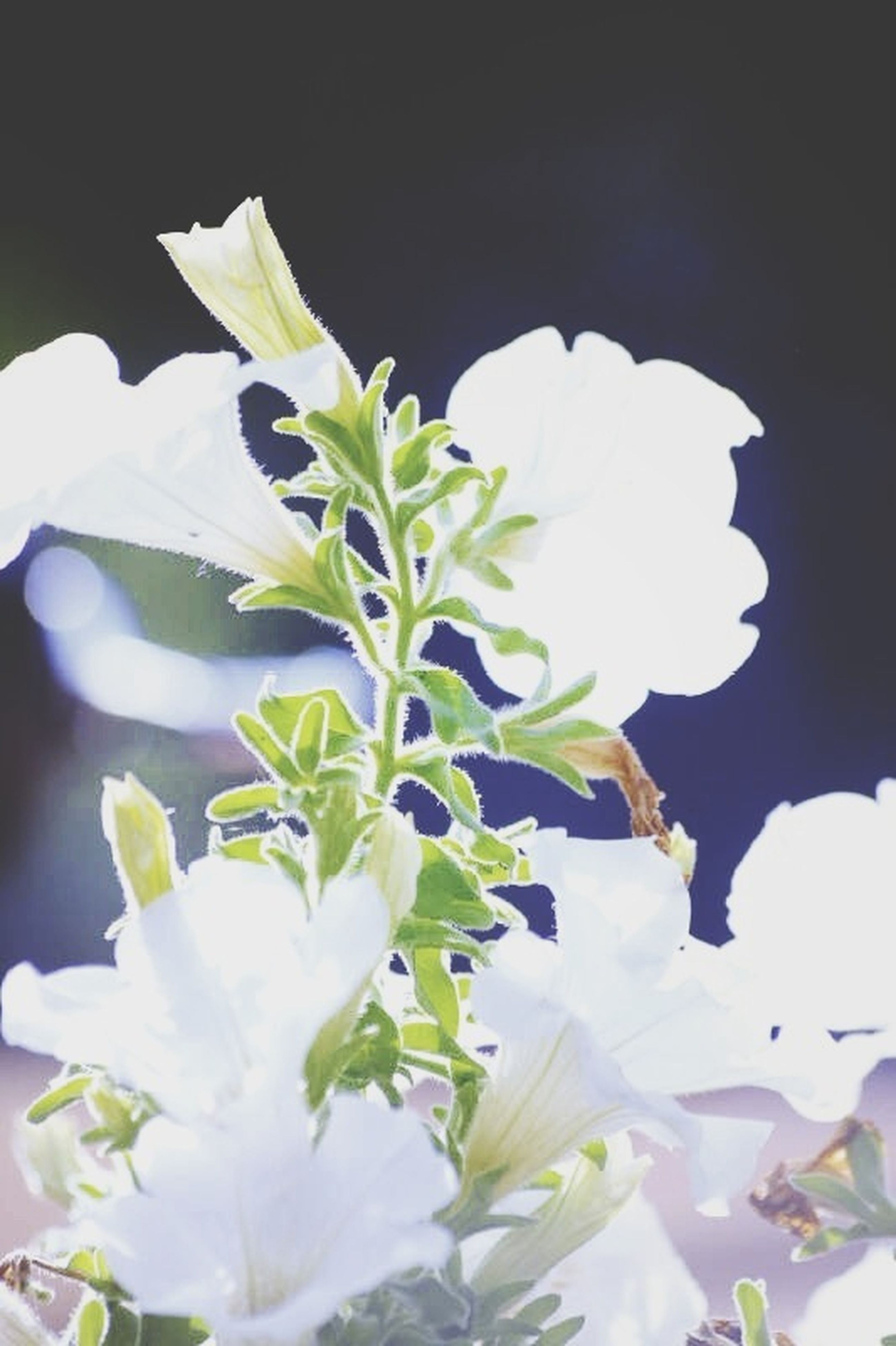 flower, white color, freshness, petal, growth, fragility, beauty in nature, flower head, nature, close-up, plant, leaf, blooming, white, in bloom, blossom, studio shot, no people, focus on foreground, botany