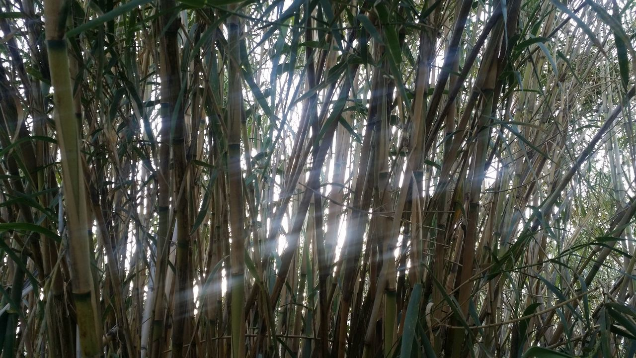 Tree Nature Growth No People Tranquility Beauty In Nature Full Frame Low Angle View Backgrounds Day Outdoors Sky Bamboo Grove Sun Glow Sun Glowing Thru