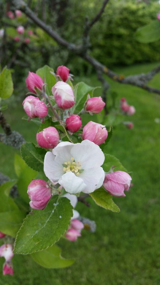 Apple blossom Relaxing EyeEm Gallery Freedom Picoftheday Spring 2016 Eye4photography  Tranquil Scene Nature_collection Photooftheday Spring Has Arrived Sweden Spring Time Flower Free Beautiful Atmosphere Apple Blossom Pictureoftheday The Great Outdoors -2016 Eyeem Awards The Great Outdoors - 2016 EyeEm Awards Thegreatoutdoors-2016eyeemawards Enjoying Life Tree_collection  Pink Flower Pink