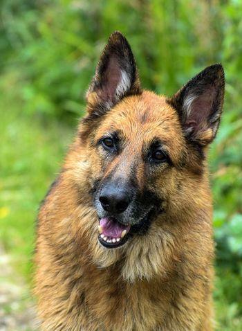 Dog German Shepherd Pets Portrait Looking At Camera Close-up