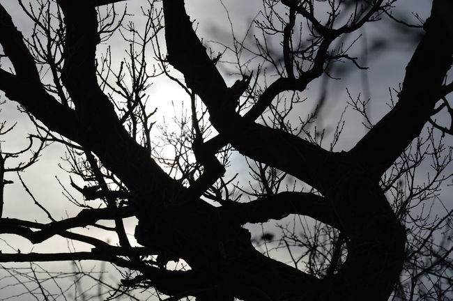 Bare Tree Branch Gothic Low Angle View Outline Silhouette Single Tree Tree Trunk