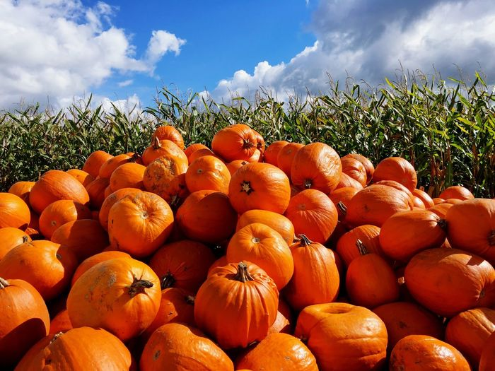 Food And Drink Freshness Abundance Large Group Of Objects Orange Color Vegetable Food Healthy Eating Ripe Pumpkin Field Stack Close-up Sky In A Row Vibrant Color Selective Focus Sunny Rural Scene Variation Halloween Autumn